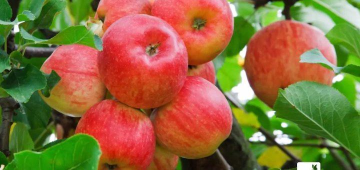 吃了20年苹果才知道,买苹果只需看看这,保证买的苹果又香又脆!